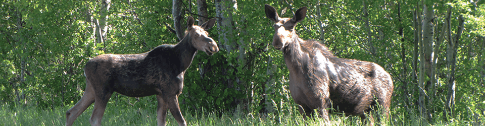 moose viewing northern new hampshire